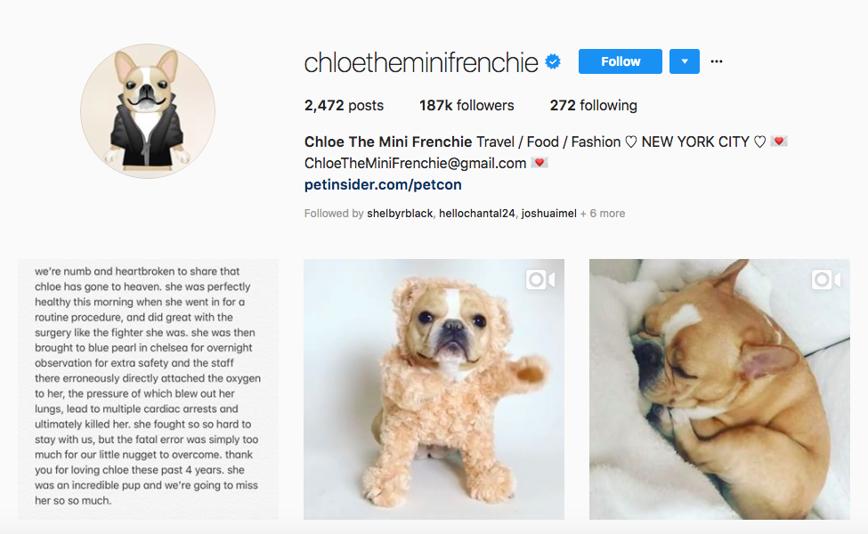 Chloe The Mini Frenchie Top Pet Influencers
